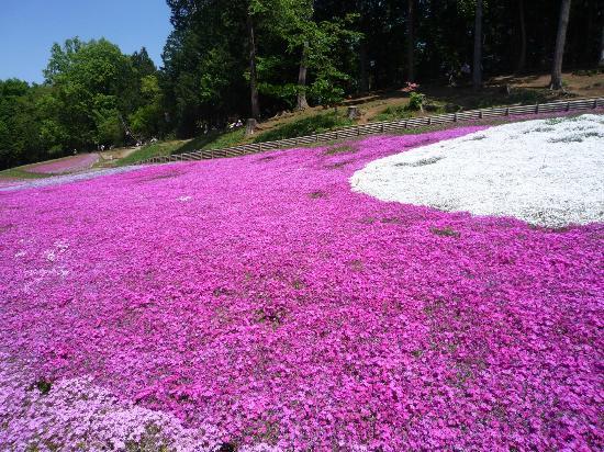 埼玉県 羊山公園 芝桜の写真