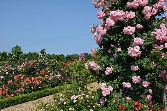 静岡 熱川温泉一柳閣 バラ園の写真