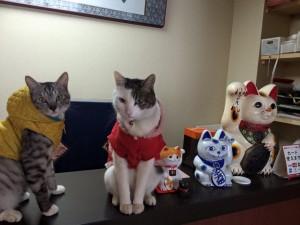看板猫「リュウ」&「コタロウ」 草津温泉中村屋旅館