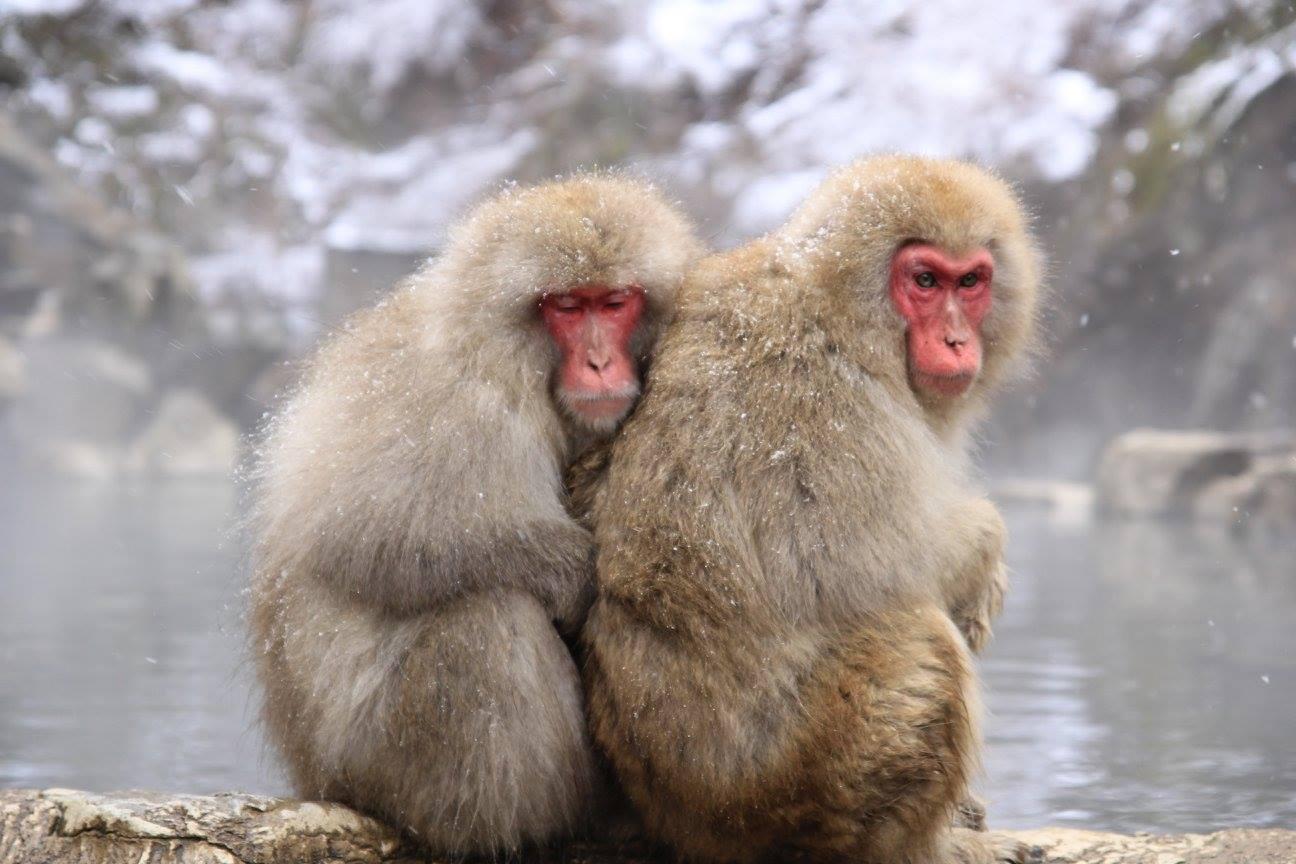 猿 温泉で寄り添う二匹