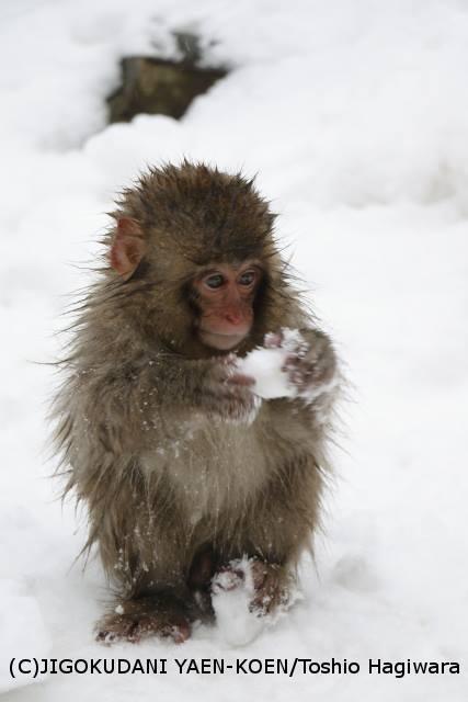 雪の中の子猿(猿 温泉)
