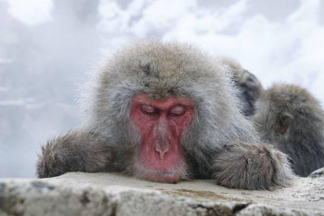 気持ちよさそうにお湯につかる猿