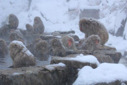 戻ってきた 猿 温泉 の猿