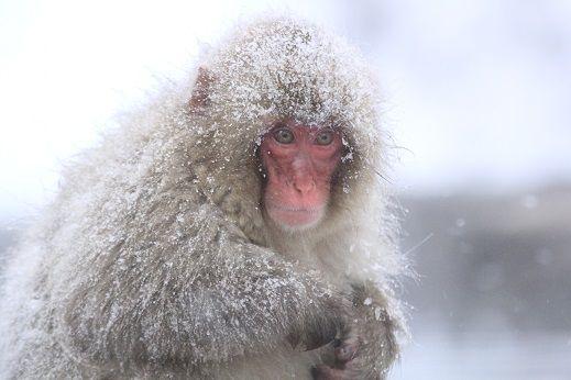 雪にまみれる猿(猿 温泉)