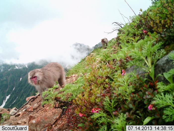 野生のニホンザルの写真(猿 温泉)