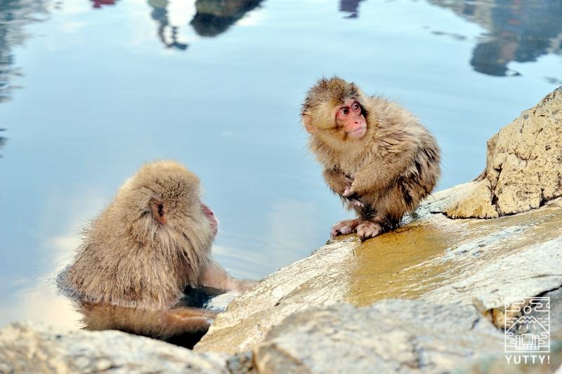 温泉に入る母猿と小猿の写真