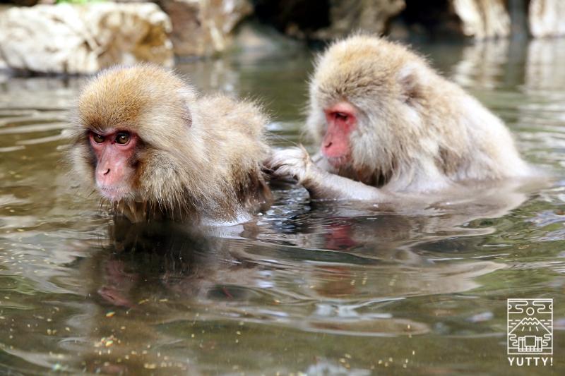 毛づくろいをする温泉の猿の写真