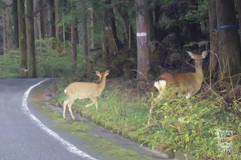 大谷崩までの林道に出没した鹿の写真
