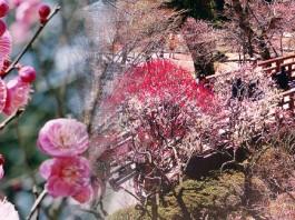 熱海梅公園 梅まつり